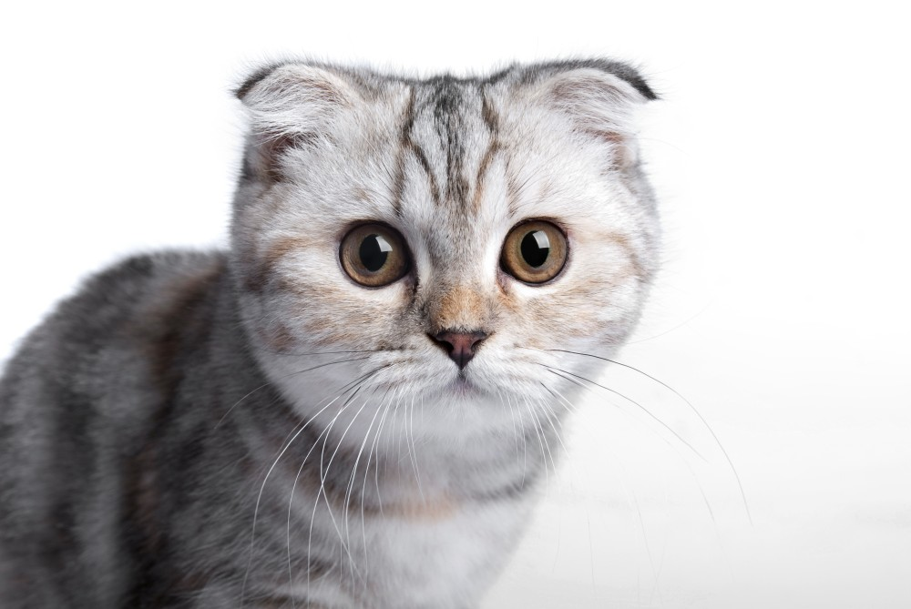 Возраст кастрации котов шотландцев