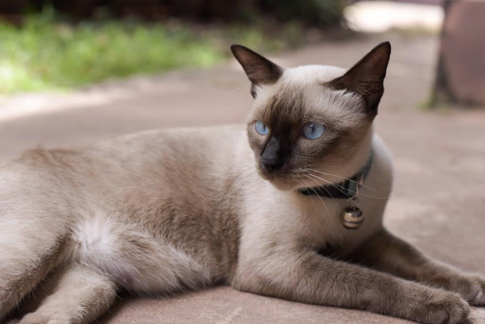 Сиамский кот когда можно кастрировать