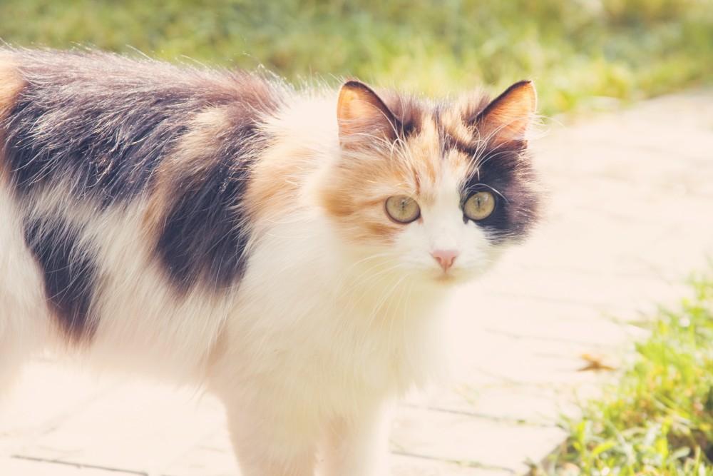 картинки кошек трехцветных картинки