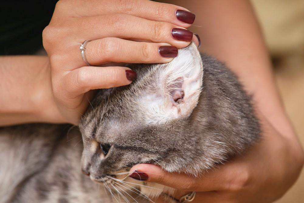 Рак у кошек в ушах лечение