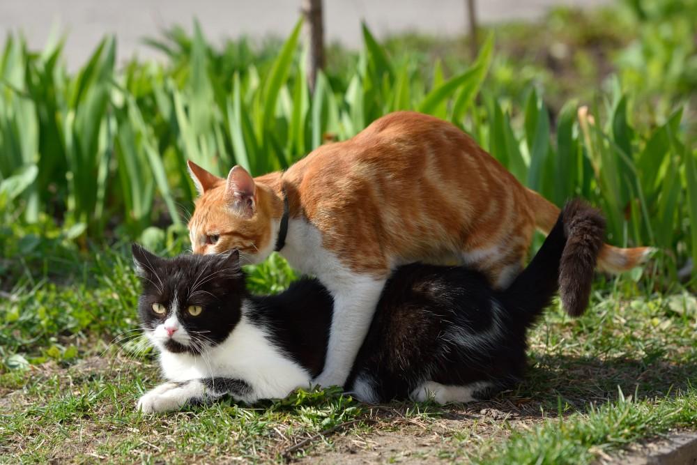 Кот не вяжет кошку во время течки