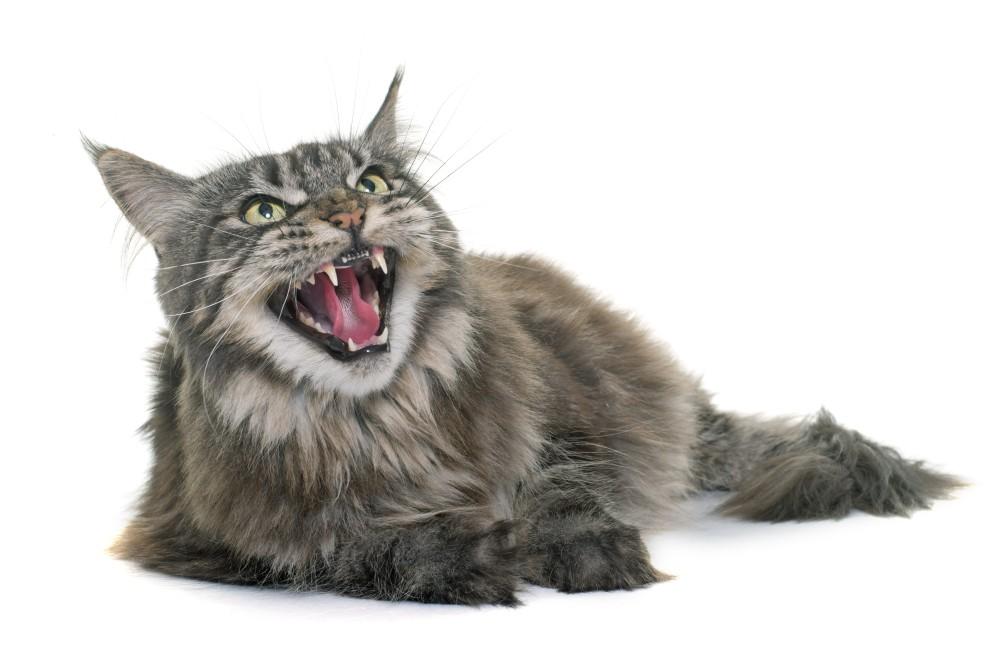 Цистит у британских котов