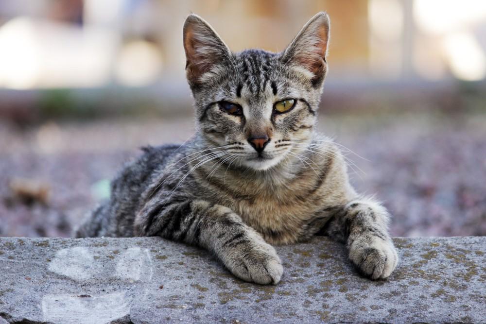 Если у кота загноился глаз