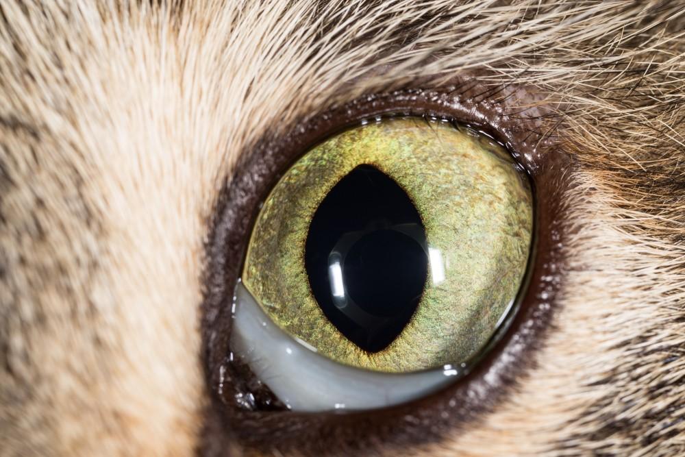 аллергия на кота глаза