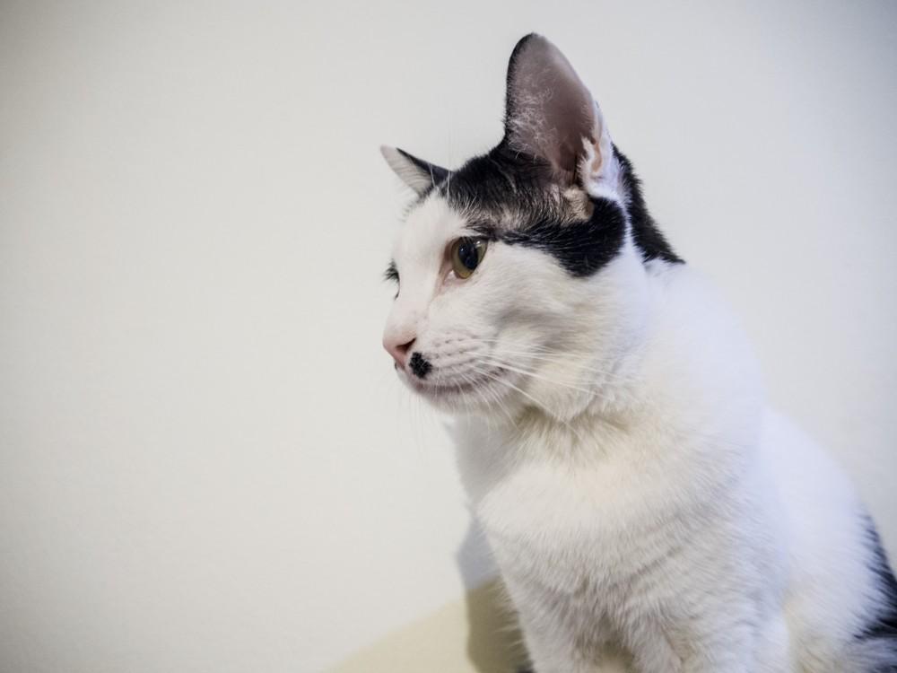 Грибок у кошек - симптомы, лечение, препараты, причины появления