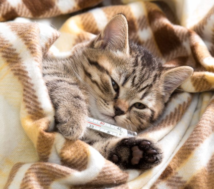 Какое лекарство дать коту от температуры