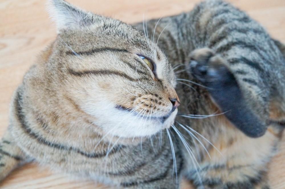 Чесотка симптомы фото первые признаки у кошек, короста у кота лечение