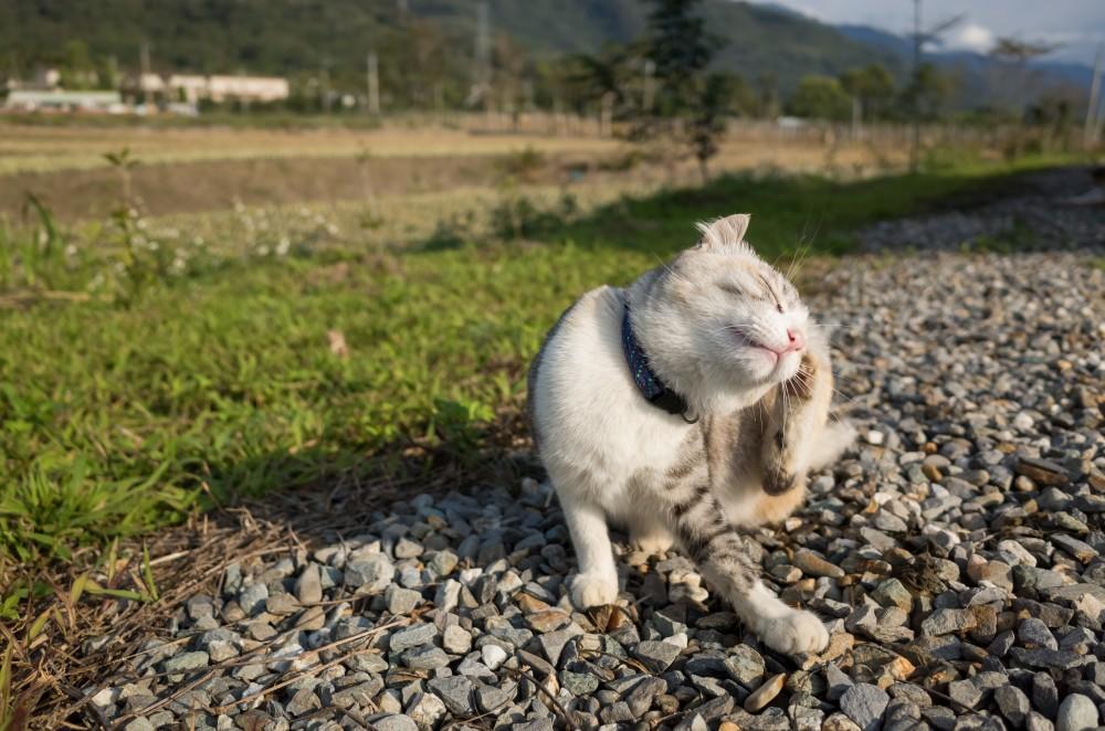 Как лечить грибок у кошек