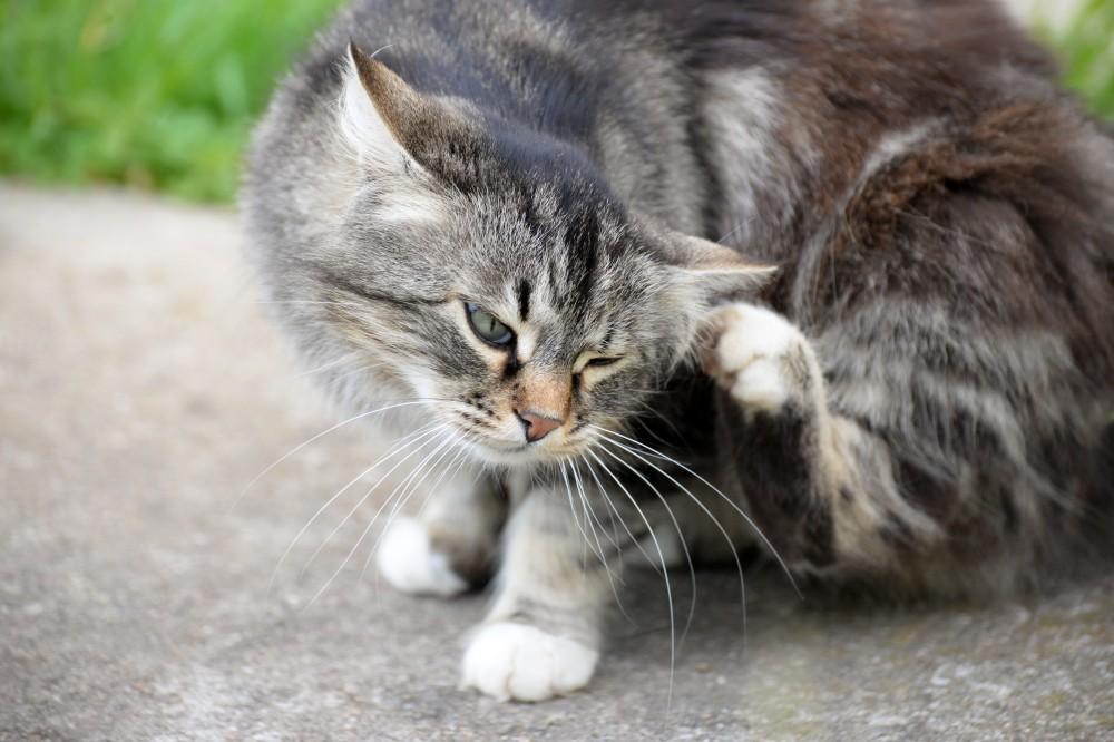 Если у кота болят ушки