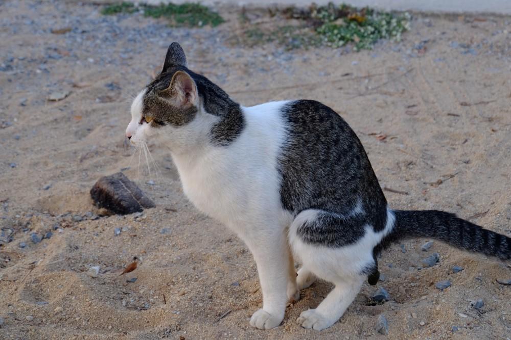 california bengal cat rescue redwood city