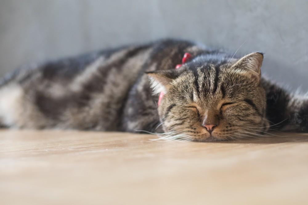 Кот отравился. Что делать в домашних условиях