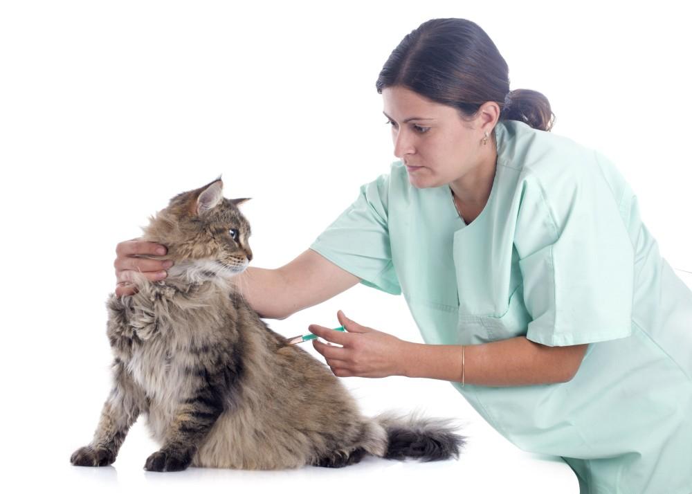 Прививка от токсоплазмоза для кошек. Профилактика токсоплазмоза у кошек