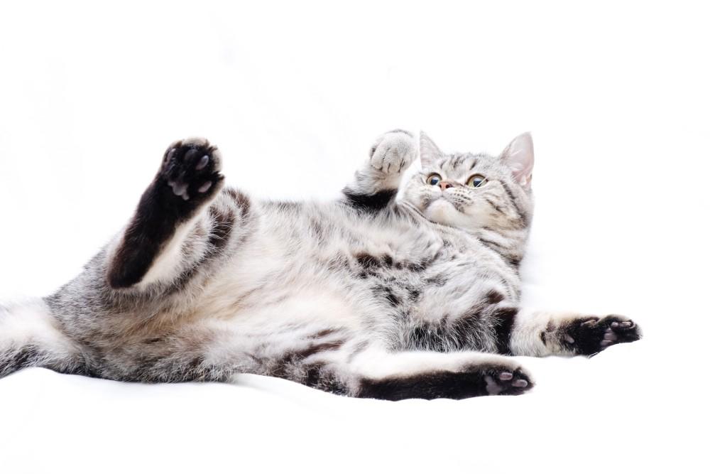 Кот лижет гинеталии