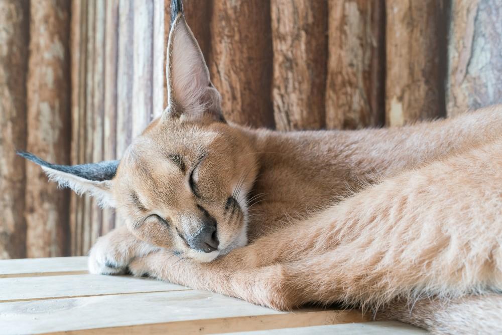 Заболевания репродуктивной системы у кошек