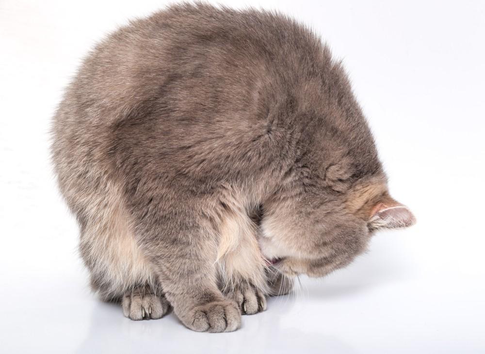 можно ли котенку давать пирантел