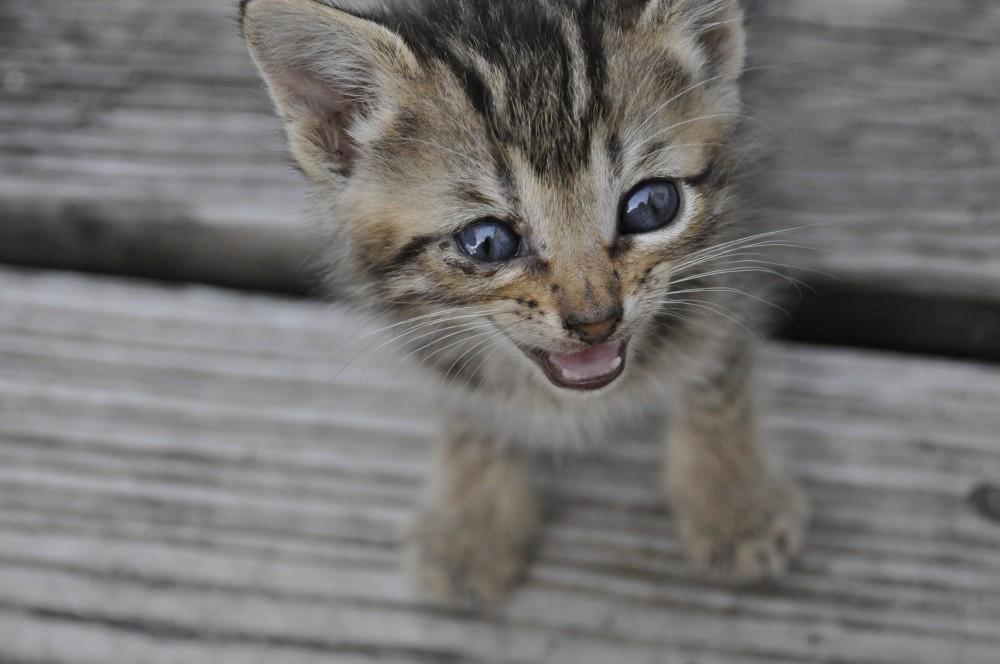Хпн у кошек что это такое