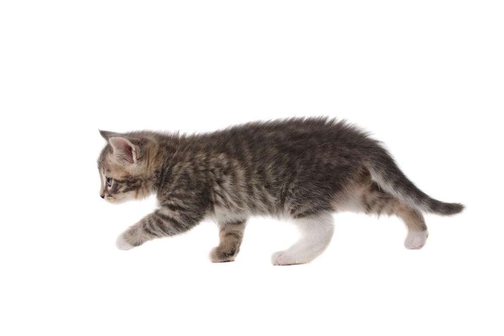 Грыжа у котенка на животе что делать