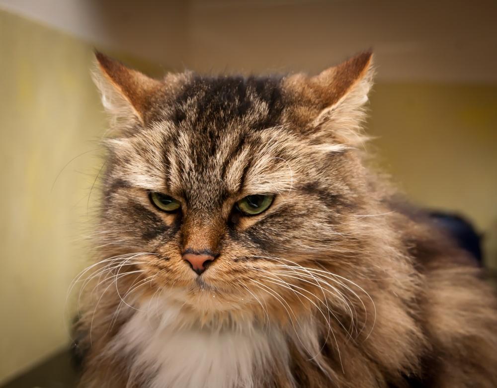 Как колоть Гамавит кошке