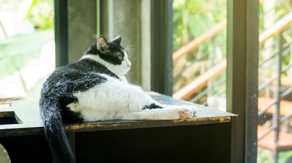 Изображение - Дисплазия тазобедренного сустава у котенка popa-koshki