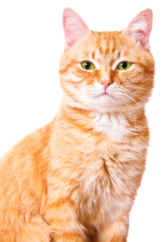 От чего развивается хпн у кошек